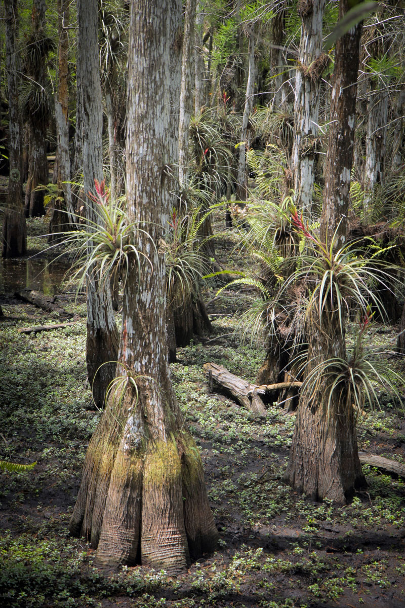 Keys Made Near Me >> Hiking Dwarf Cypress Forest in Everglades National Park ...